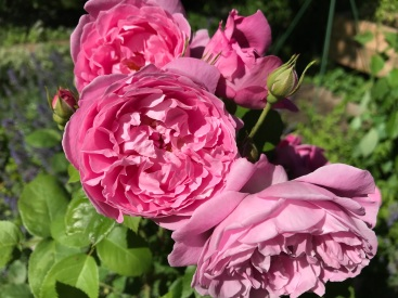 Scepter'd Isle, A David Austin rose.